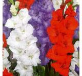 Patriotic Mix Gladiolus