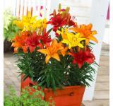 Sunset Lily Mix