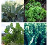 Organic Culinary Herbs