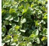 Oregano-4 Inch Pot