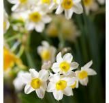 Minnow Daffodils