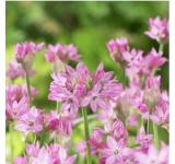 Ostrowskianum Allium