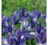 Sapphire Beauty Iris
