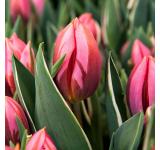 Pretty Princess Tulip