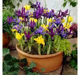 Dwarf Iris Mix