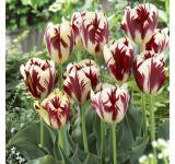 Grand Perfection Tulip