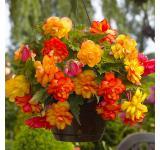 Golden Balcony Begonia