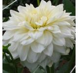 White Alvas Dahlia