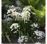 Cowanii Allium