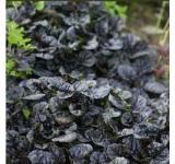 Black Scallop