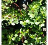Miniature Jade