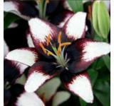 Black Eye Lily