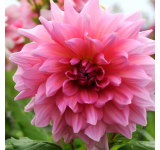 Ottos Thrill Dahlia