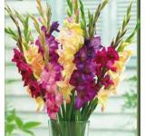 Mardi Gras Gladiolus