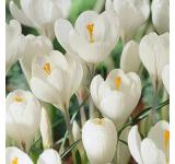 Joan Of Arc Crocus
