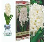 Carnegie White Hyacinth