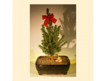 Bonsai Holiday Tree Bonsai Indoor Gardening Blooming Secrets