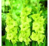 Green Star Gladiolus