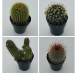 Cacti Assortment