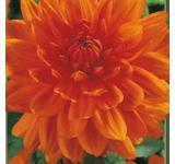 Prince of Orange Dahlia