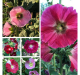 Organic Hollyhock Seeds