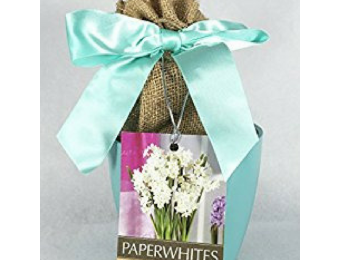 Paperwhites In Planter