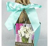 Paperwhites In Planter